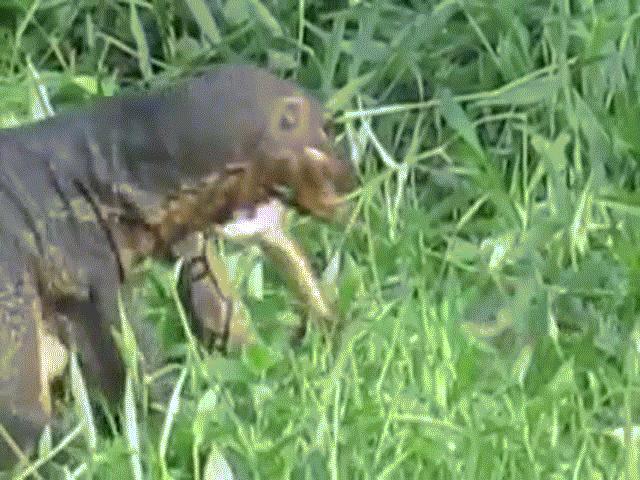 Video: Kỳ đà Monitor sử dụng bộ hàm sắc bén cắn đứt đầu trăn vua