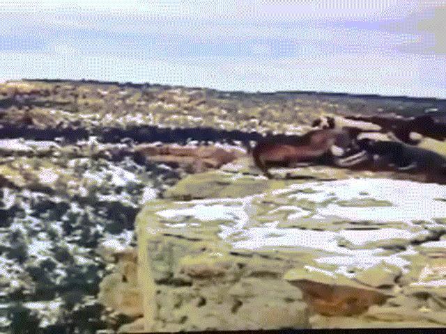 Video: Bị đàn chó săn dồn vào đường cùng, báo sư tử trượt chân ngã xuống vách núi cao 30m