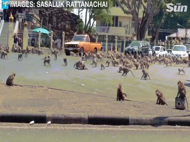 """""""Binh đoàn"""" khỉ hàng nghìn con đại náo thành phố, cảnh sát bất lực"""
