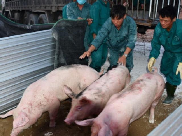 Thái Lan chính thức giảm xuất khẩu lợn, lợn hơi trong nước lại đà tăng?