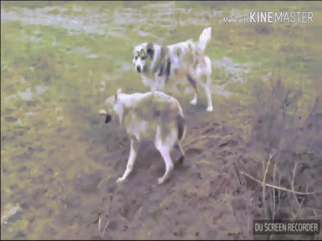Video: Bị chó chăn cừu tấn công, chó sói hung dữ cắn trả nhưng vẫn thất bại thảm hại