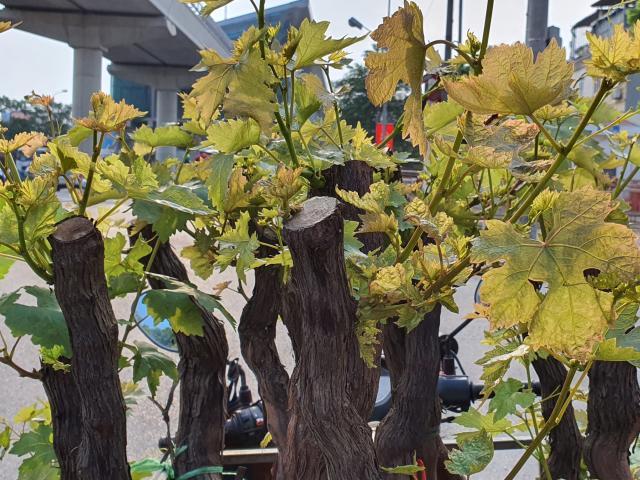 """Mua """"gốc cây""""  về trồng với hi vọng cho trái siêu tốc và cái kết """"đắng"""""""