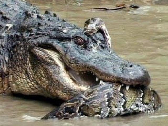 Trận đại chiến không hồi kết giữa cá sấu và trăn Nam Mỹ