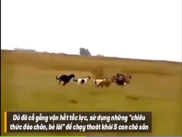 Video: Chạy hết tốc lực, lạng lách, bẻ lái nhưng đà điểu không thoát khỏi 5 con chó săn Greyhound