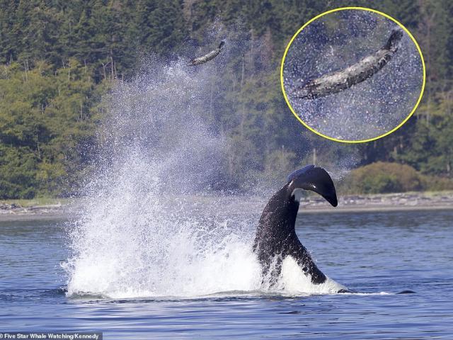 """Ảnh cực hiếm: Cá voi sát thủ dùng """"đòn hiểm"""", hất tung con mồi lên không trung"""
