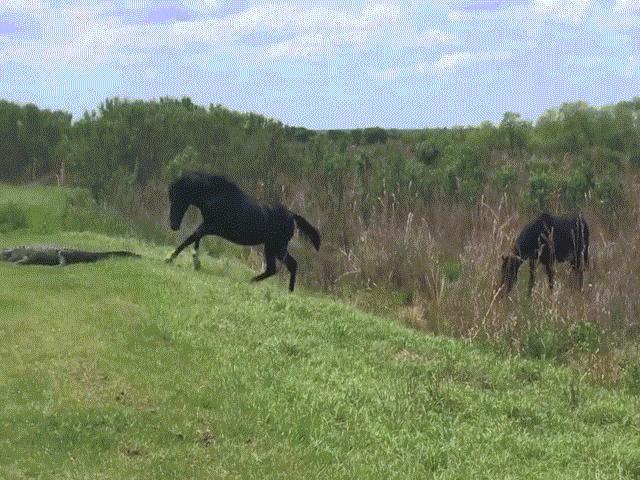Video: Cá sấu bị ngựa tấn công bất ngờ khi đang phơi nắng