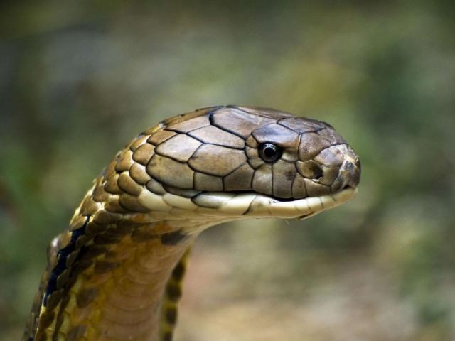 Rắn độc vừa bị chặt đầu, vì sao cấm kỵ dùng tay cầm đầu rắn?