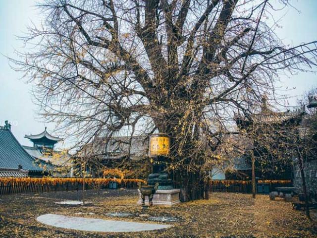 Ngôi chùa hàng nghìn năm tuổi bỗng dưng nổi tiếng chỉ vì loài cây này