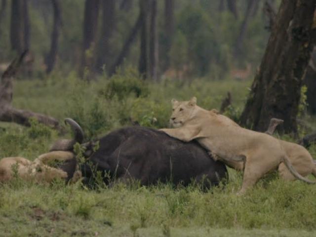 """Trâu rừng """"gọi hội"""" tấn công đàn sư tử giải cứu đồng loại"""