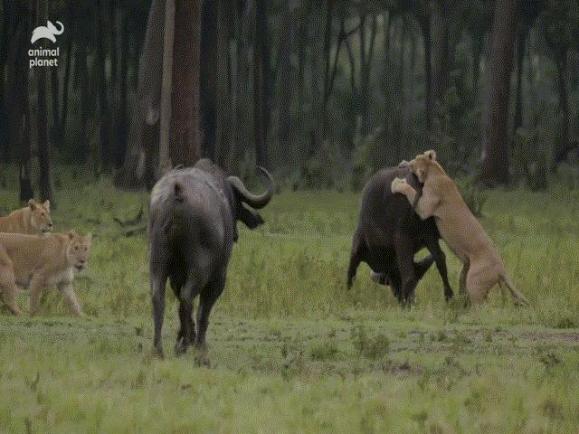 Video: Thấy đồng loại bị sư tử quật ngã, đàn trâu rừng kéo tới tấn công kẻ săn mồi khiến chúa tể vùng đồng bỏ phải bỏ chạy