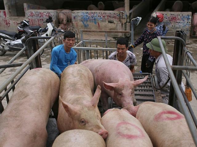 Trung Quốc ăn nhiều thịt lợn kéo giá lợn hơi Việt Nam tăng cao