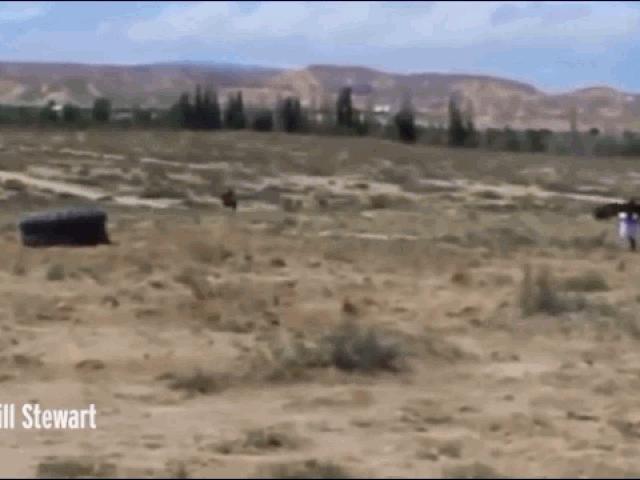 Đại bàng khổng lồ bất ngờ sà xuống đất tấn công bé gái 8 tuổi