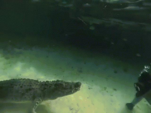 """Video: Thợ lặn gan dạ chạm trán cá sấu """"có thể tấn công bất cứ lúc nào"""""""