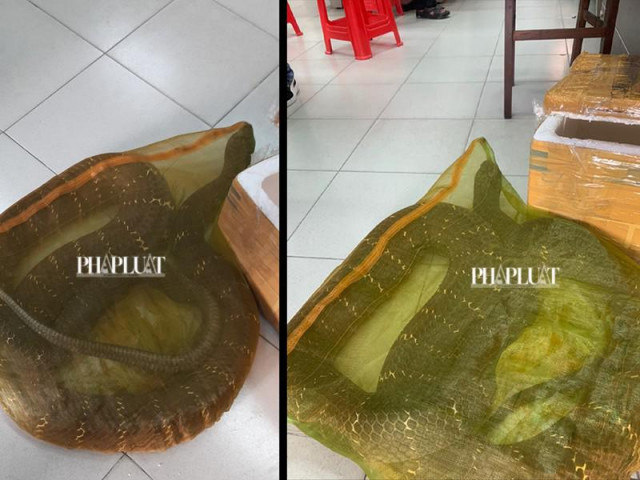 1 người chở con rắn hổ chúa hơn 20kg đi bán ở TP.HCM