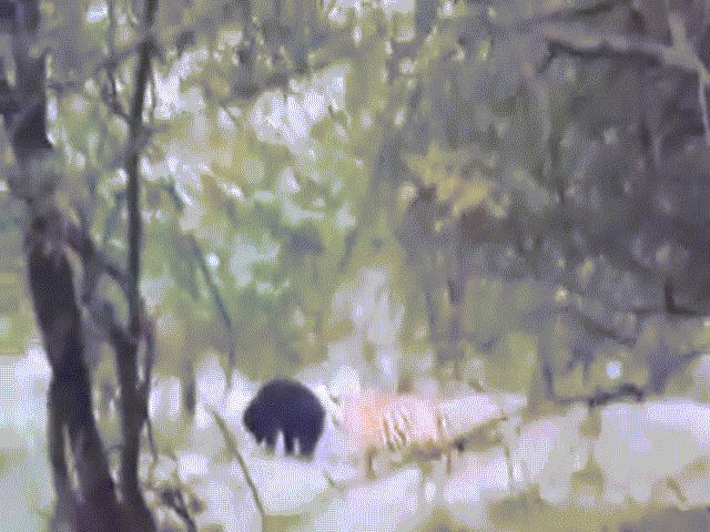 "Video: ""Lớn mật"" săn cả gấu, hổ dữ bị con mồi đuổi đánh tơi tả"