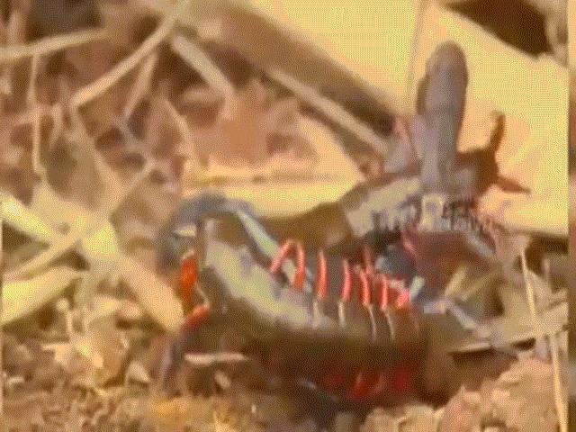 Video: Bọ cạp điêu đứng trước tuyệt chiêu có một không hai của rết độc