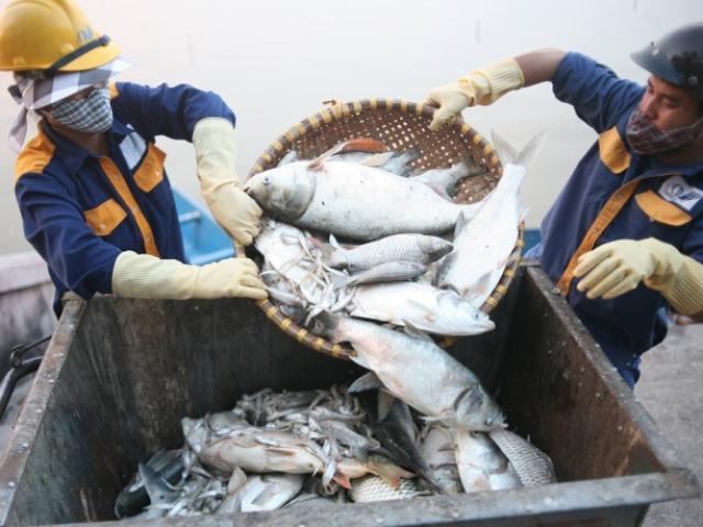 Khoảng 200 tấn cá hồ Tây đã được đem chôn