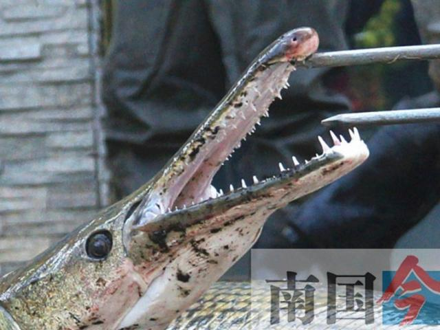 """Bất ngờ phát hiện hai """"thủy quái"""" mõm dài trong hồ Trung Quốc"""