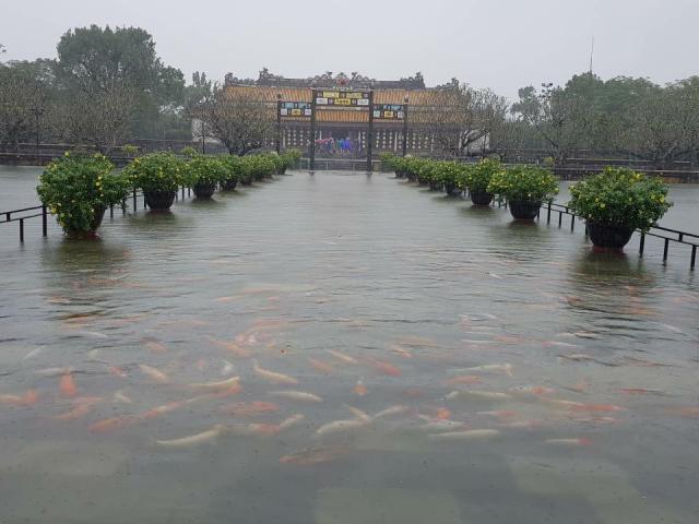 """Chuyện hiếm: Đàn cá """"vua"""" bơi tung tăng trên cầu ở Đại nội Huế"""