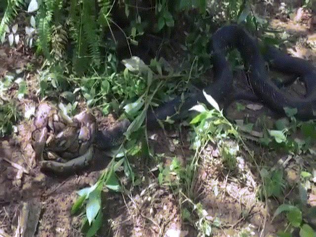 Hổ mang chúa khổng lồ dài 5m đoạt mạng trăn