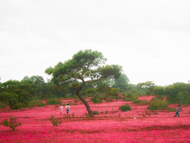 Rực rỡ đồi cỏ hồng ở Gia Lai đẹp như tranh vẽ hút khách đầu đông