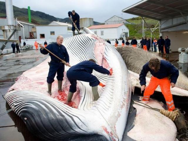 """Quốc gia """"ngày đêm"""" đi săn cá voi nhưng không đem về ăn"""