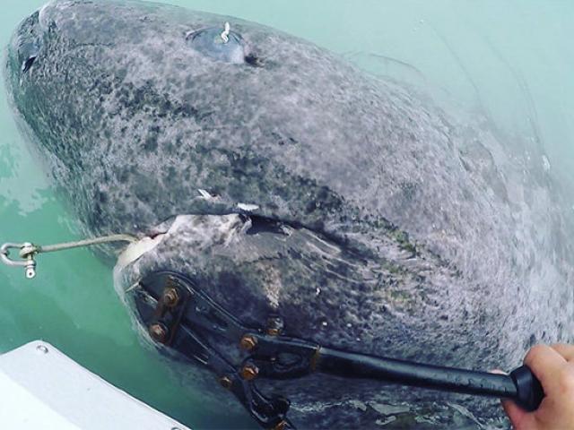 Phát hiện cá mập quái vật sống hơn 5 thế kỉ, thọ nhất thế giới