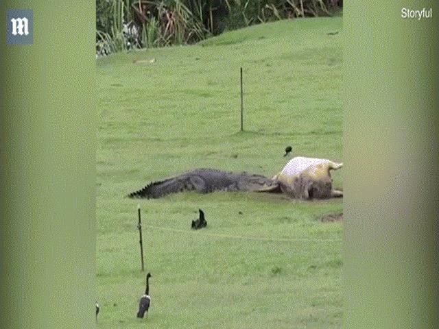"""Úc: Cá sấu khổng lồ """"hồn nhiên"""" ăn một con bò trong vườn"""