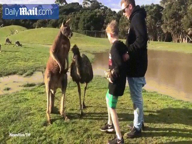 Đến gần cho kangaroo ăn, bé trai Úc không ngờ dính đòn nhớ đời