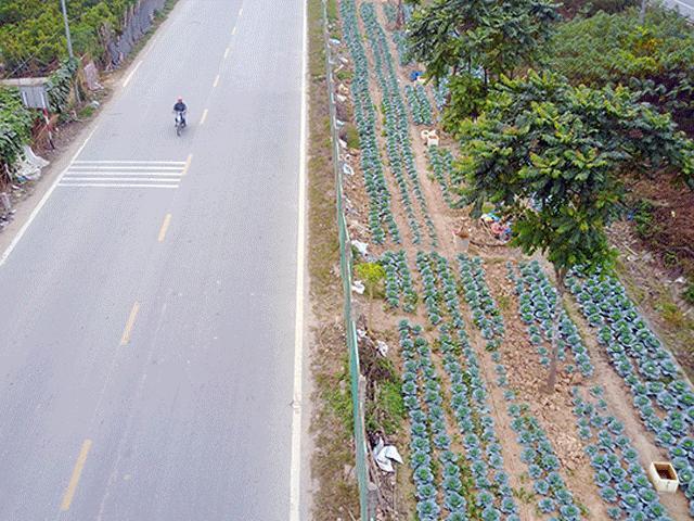 Nông dân trồng rau xanh mướt, chăn bò trên đại lộ nghìn tỉ ở Thủ đô