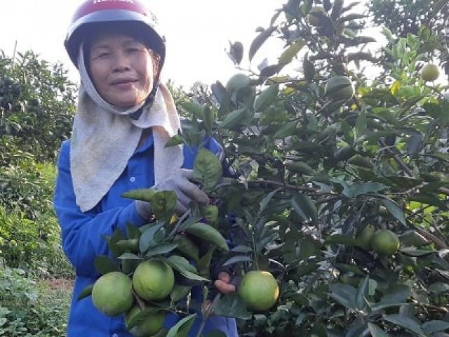 """Báo động tình trạng """"cam tặc"""" ở thủ phủ cam Cao Phong"""