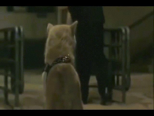 Chuyện xúc động về chú chó hơn 9 năm đợi chủ - Biểu tượng trung thành của nước Nhật