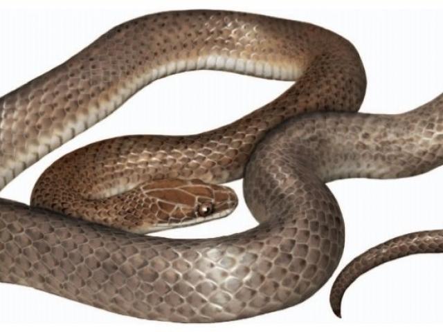 Phát hiện loài rắn mới hoàn toàn trong... bụng một con rắn khác