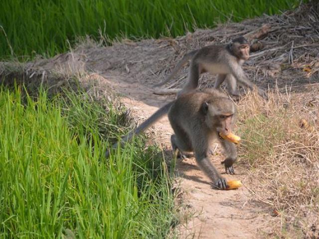 Khỉ hoang đại náo vào tận nhà lấy tiền, điện thoại