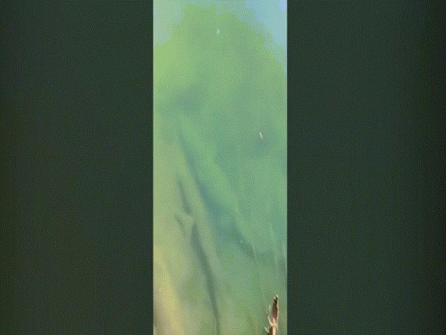 Video: Chĩa camera xuống hồ nước, phát hiện cá sấu khổng lồ dài 4,5 mét