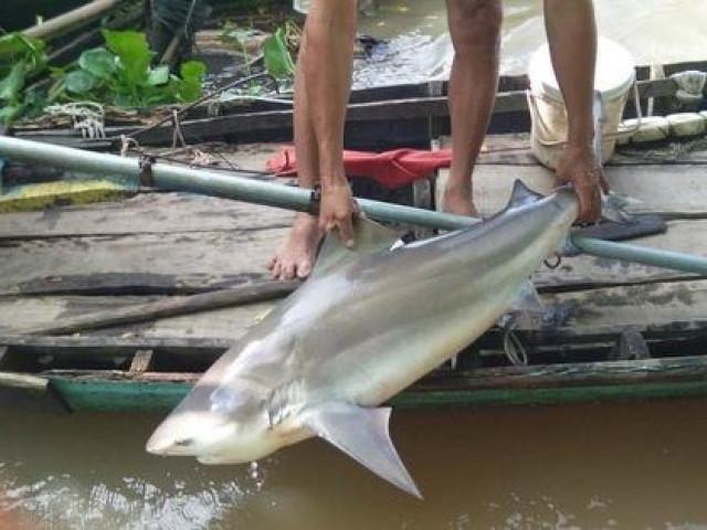 CLIP: Ngư dân miền Tây bắt được cá lạ, nghi là cá mập nước ngọt