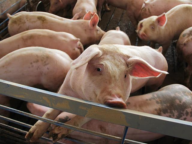 Mỹ tích trữ thịt lợn cao nhất trong nửa thập kỷ, chờ thời cơ xuất sang Trung Quốc