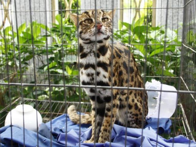 Phát hiện mèo rừng quý hiếm, có bộ lông tuyệt đẹp ngay tại TP.HCM