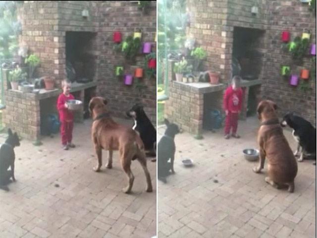 Cậu bé khiến 3 chú chó to lớn răm rắp nghe lời gây sốt