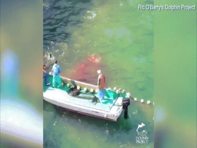 Video: Bầy cá heo bị thảm sát tập thể, máu nhuộm đỏ cả vùng biển ở Nhật