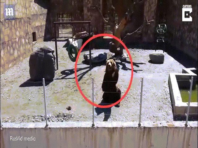 Video: Thấy du khách, gấu nâu bất ngờ ngồi ngay ngắn, giơ tay chào