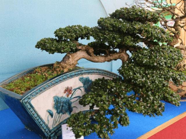 Cận cảnh những tác phẩm bonsai, suiseki tiền tỉ đổ bộ TP.HCM