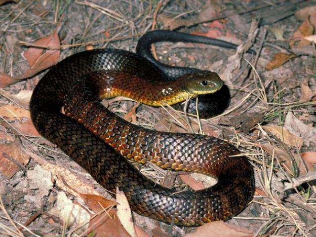 Đại chiến rắn hổ mang chúa và rắn đuôi chuông, kẻ nào giành chiến thắng?