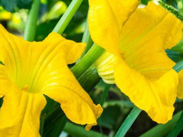 Công dụng 'toàn năng' của hoa bí - thực phẩm bổ dưỡng tuyệt vời