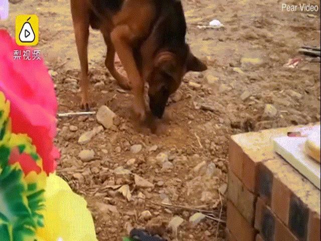 Video: Chủ bị đem chôn, chó ra mộ có hành động khiến nhiều người bất ngờ