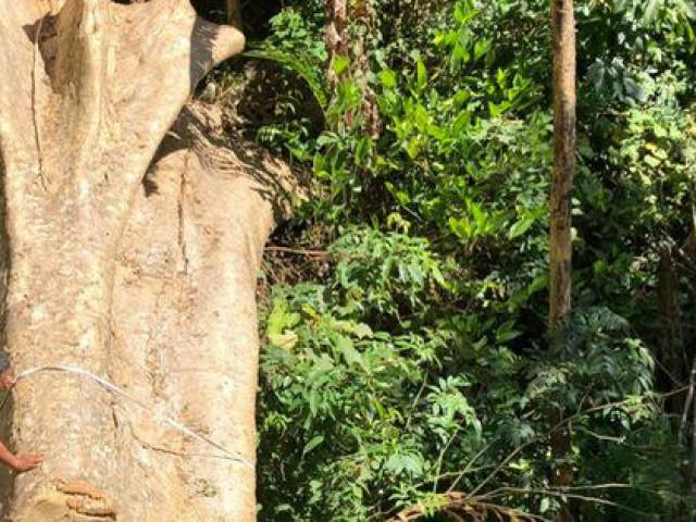 Một vụ phá rừng, sở báo 3,5m3, hạt báo 28m3, công an báo 41m3 (!?)