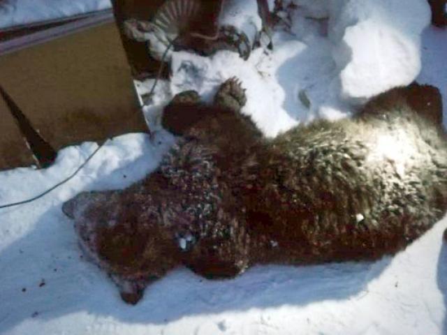 Nga: Gấu nâu 1 tạ đột nhập vào nhà, khi ra chủ nhà chỉ còn tay chân