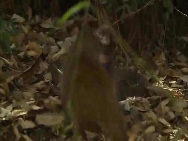 Video: Phun nọc độc định làm mù mắt cầy Mangut, rắn hổ mang bị trả thù tàn nhẫn