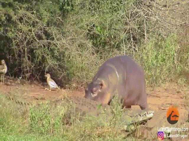"""Video: Hà mã con """"háu đá"""" cà khịa từ cá sấu đến trâu rừng nhưng kết quả mới gây bất ngờ"""