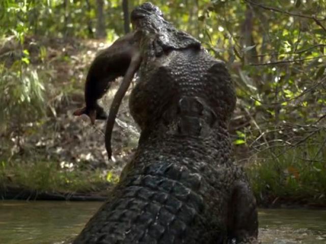 """Cá sấu săn mồi """"chậm chạp"""" khi miếng ăn dâng tận miệng vẫn để tuột"""